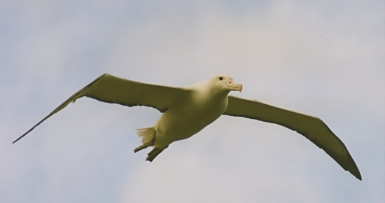 southernroyalalbatrossinflight
